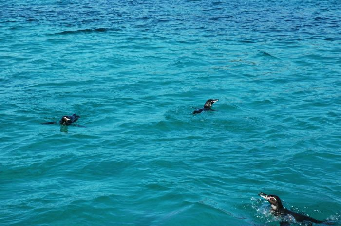 We snorkeled with these penguins. They are FAST!